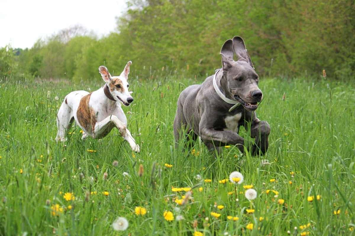 American Great Dane running in a park with another dog