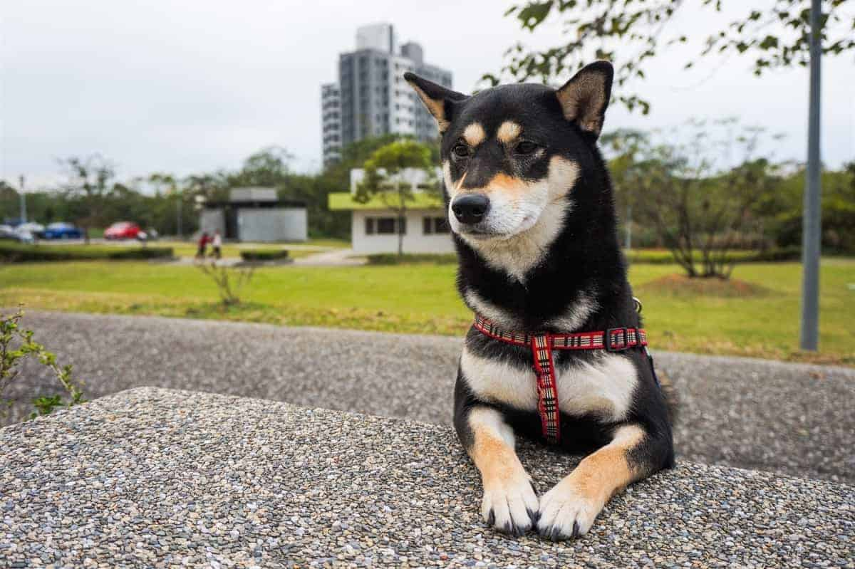 Beautiful black Shiba Inu sitting outdoor