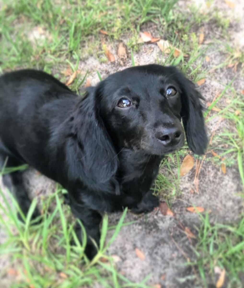 Black Long-Haired Miniature Dachshund