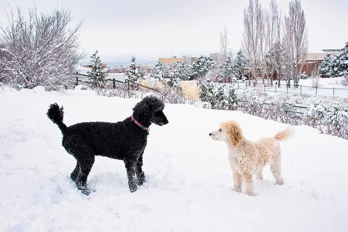 Black Poodle and Apricot Poodle playing on thick snow
