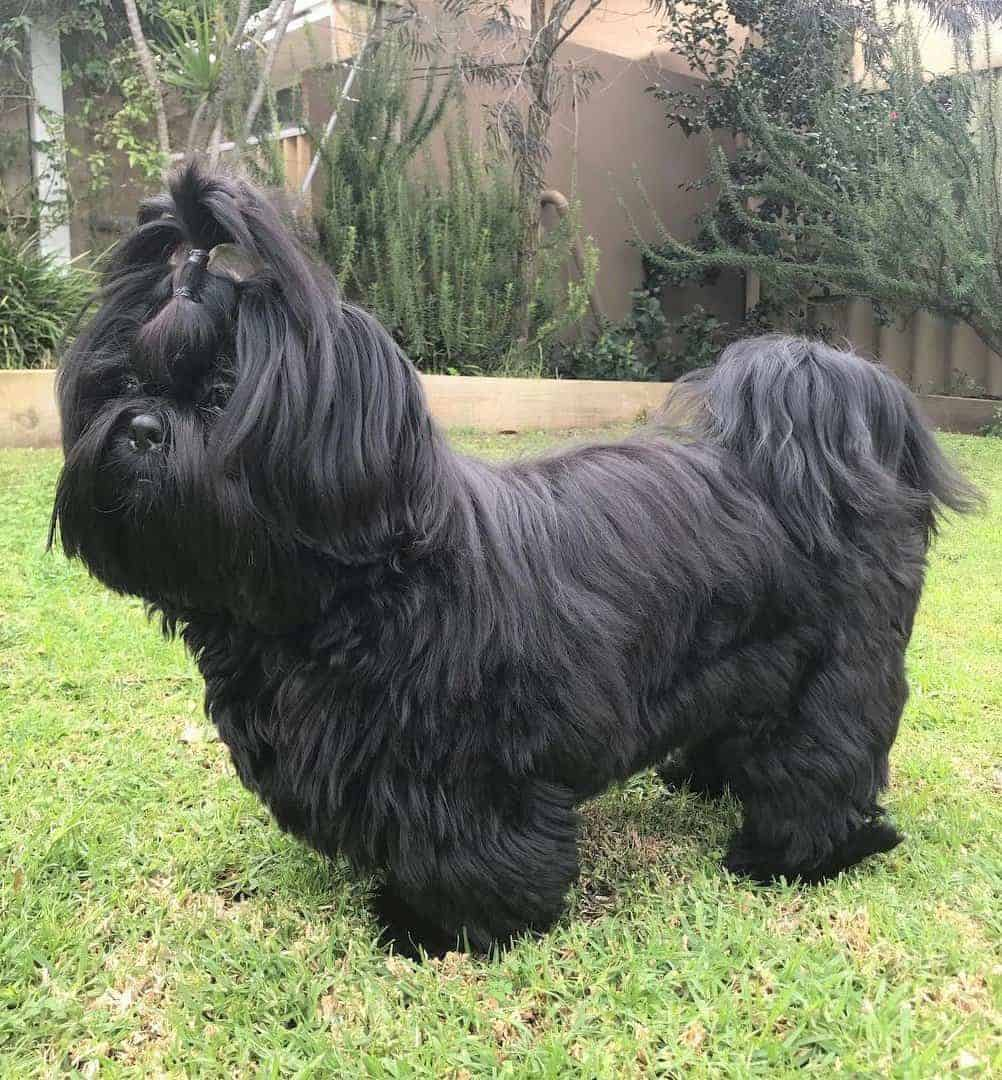 Black Shih Tzu adult with a long hair
