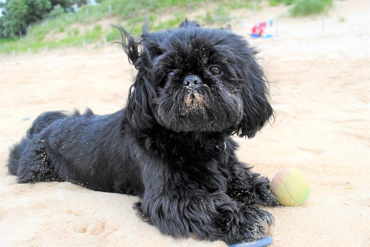 Black Shih Tzu lying on sand