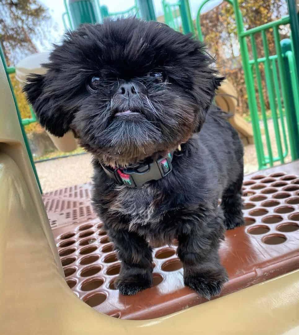 Black Shih Tzu puppy at a playground