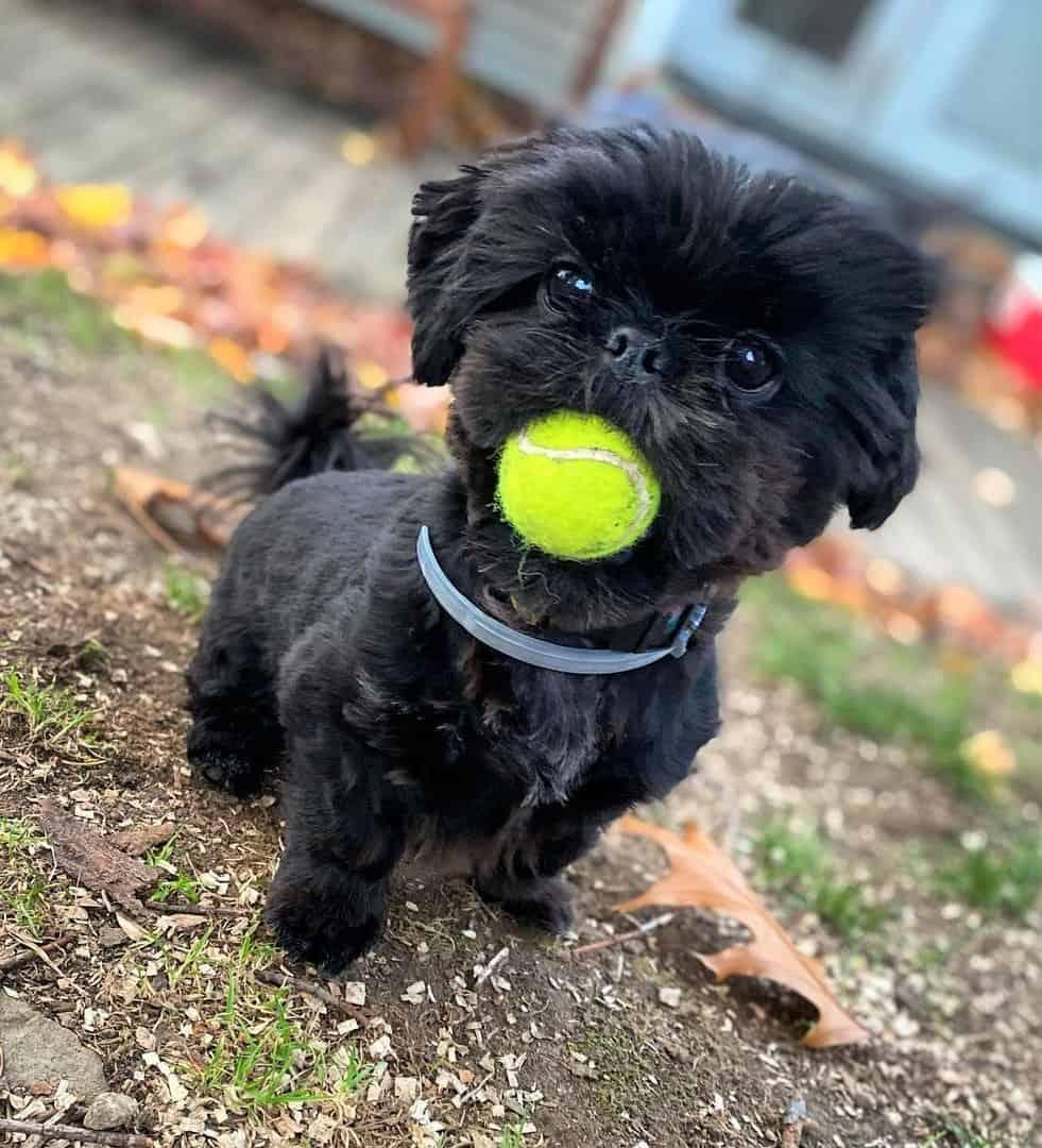 Black Shih Tzu puppy biting a ball