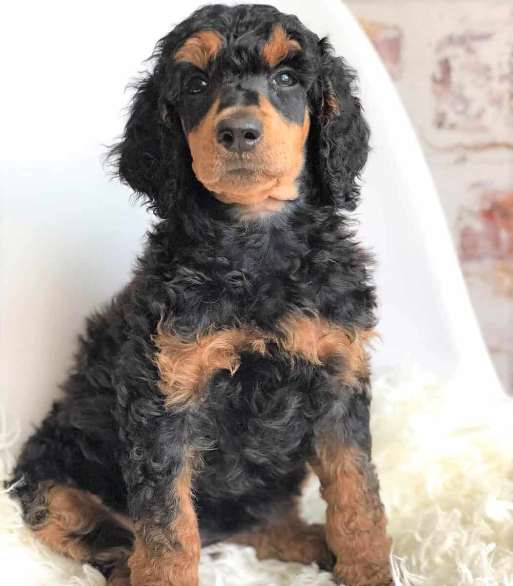 Black and Red Poodle