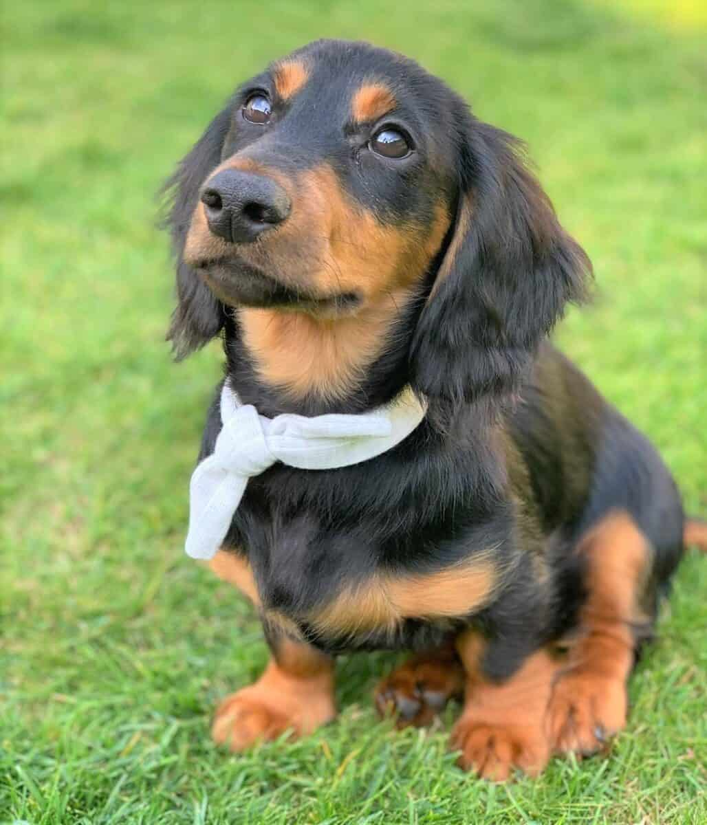 Black and Tan Long-Haired Miniature Dachshund