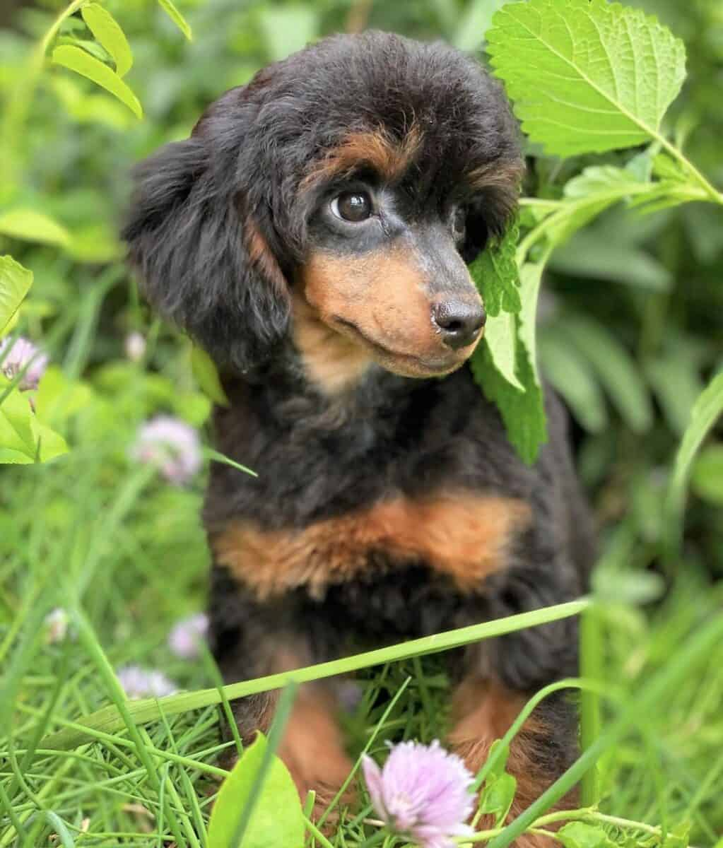 Black and Tan Poodle