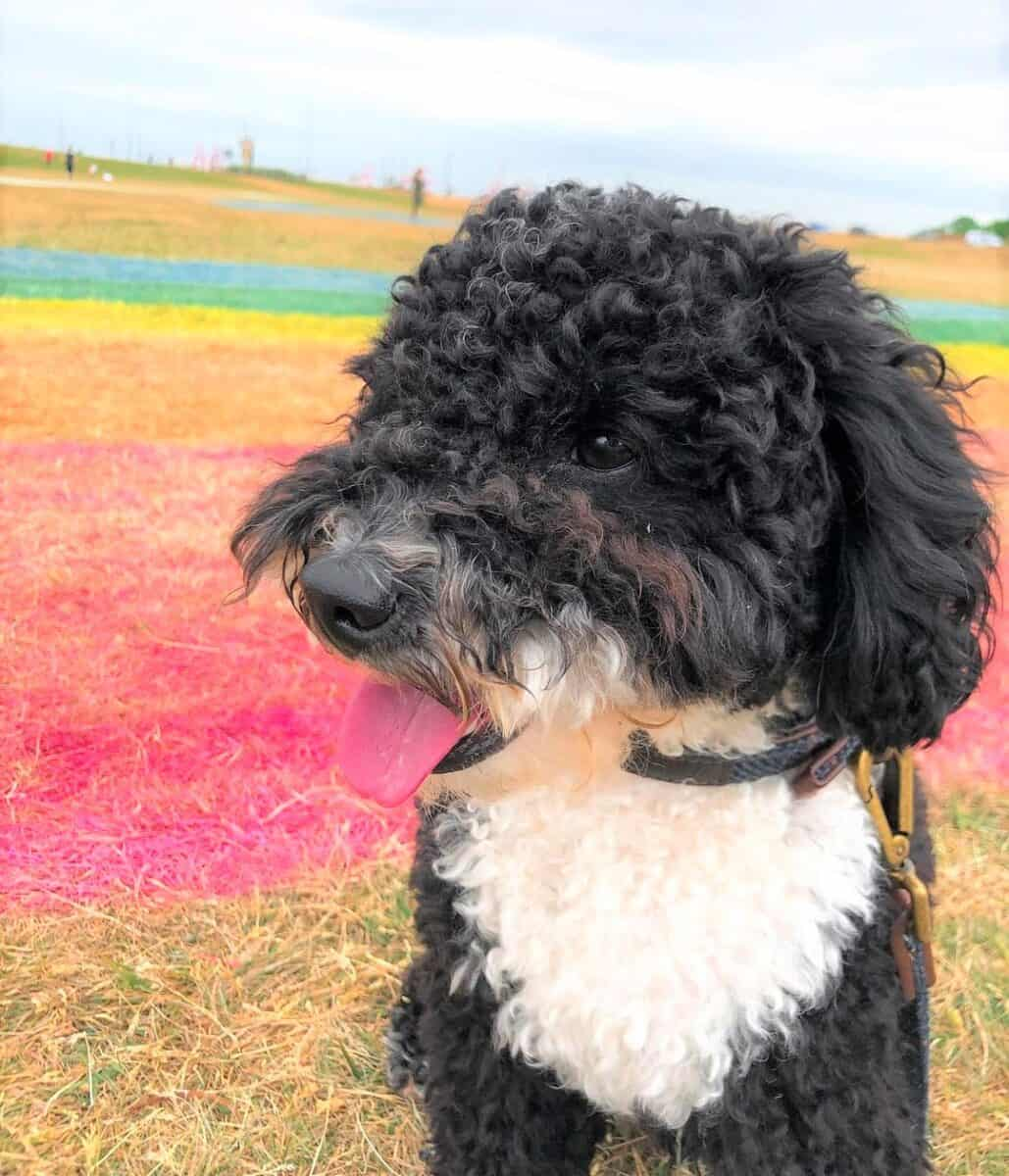 Black and White Poodle