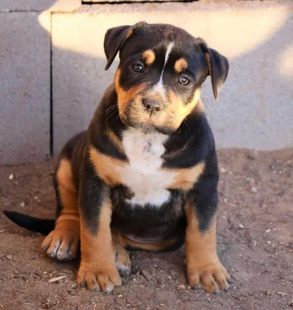 Black and tan Pitbull puppy