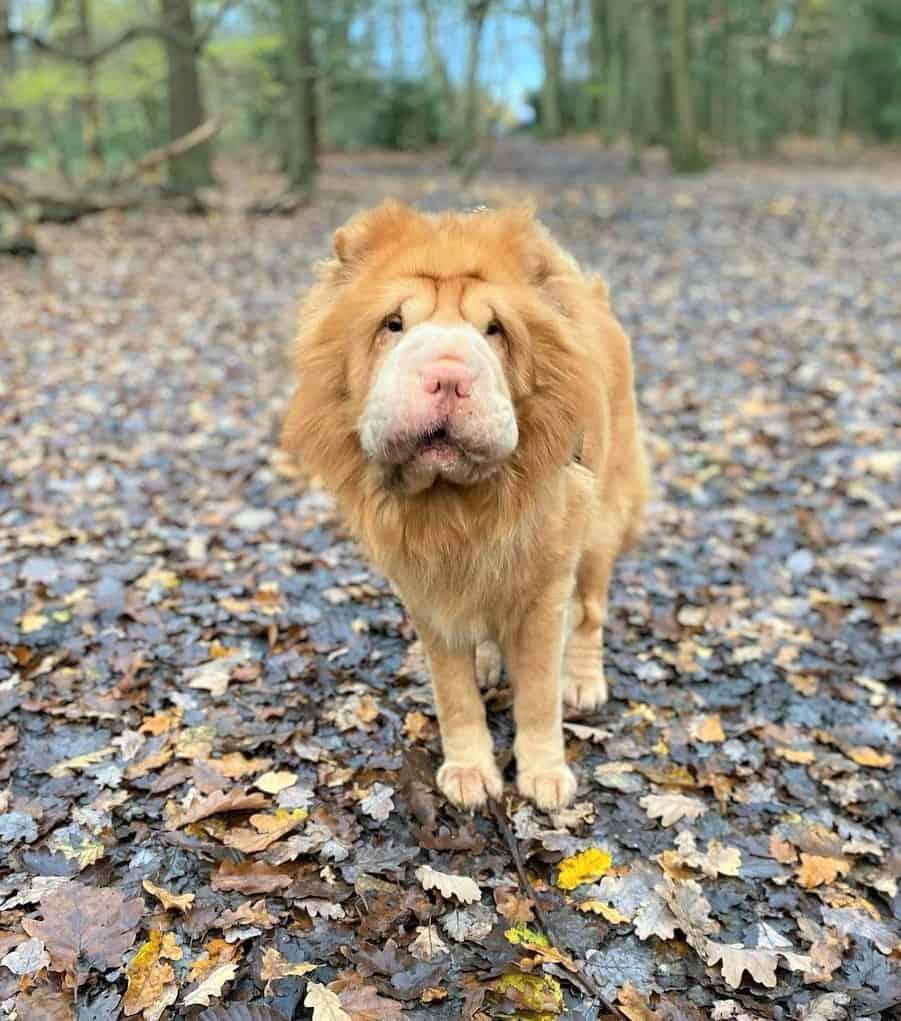 Brilliant Gold Bear Coat Shar-Pei