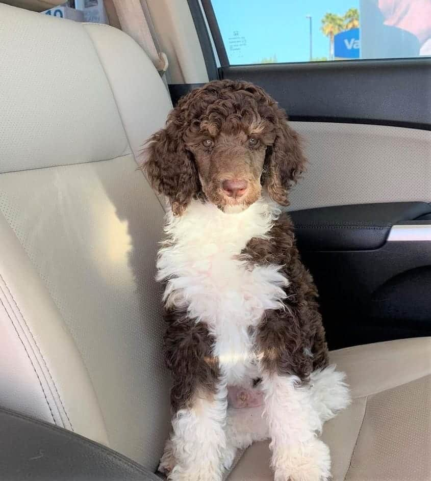 Brown and White Poodle
