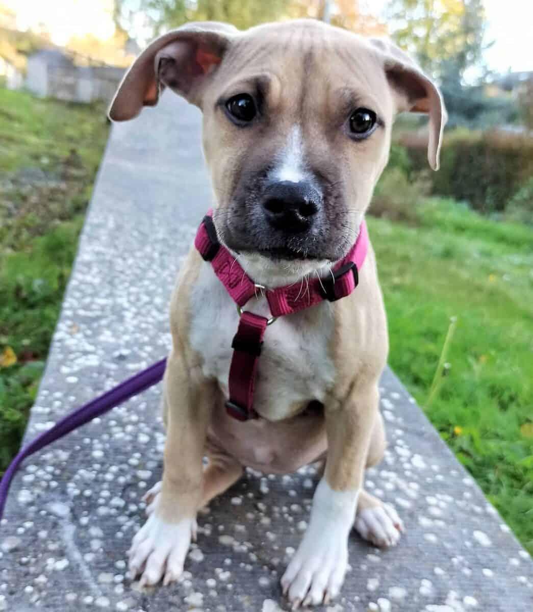Buckskin Pitbull puppy on leash