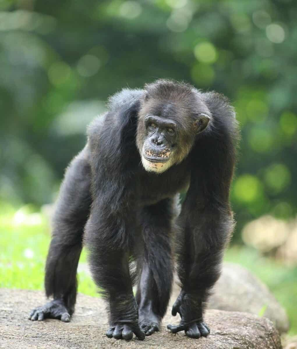 Chimpanzee monkey
