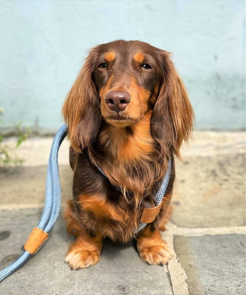 Chocolate and Tan Long-Haired Miniature Dachshund