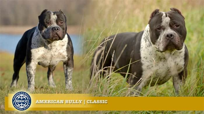 Classic American Bully