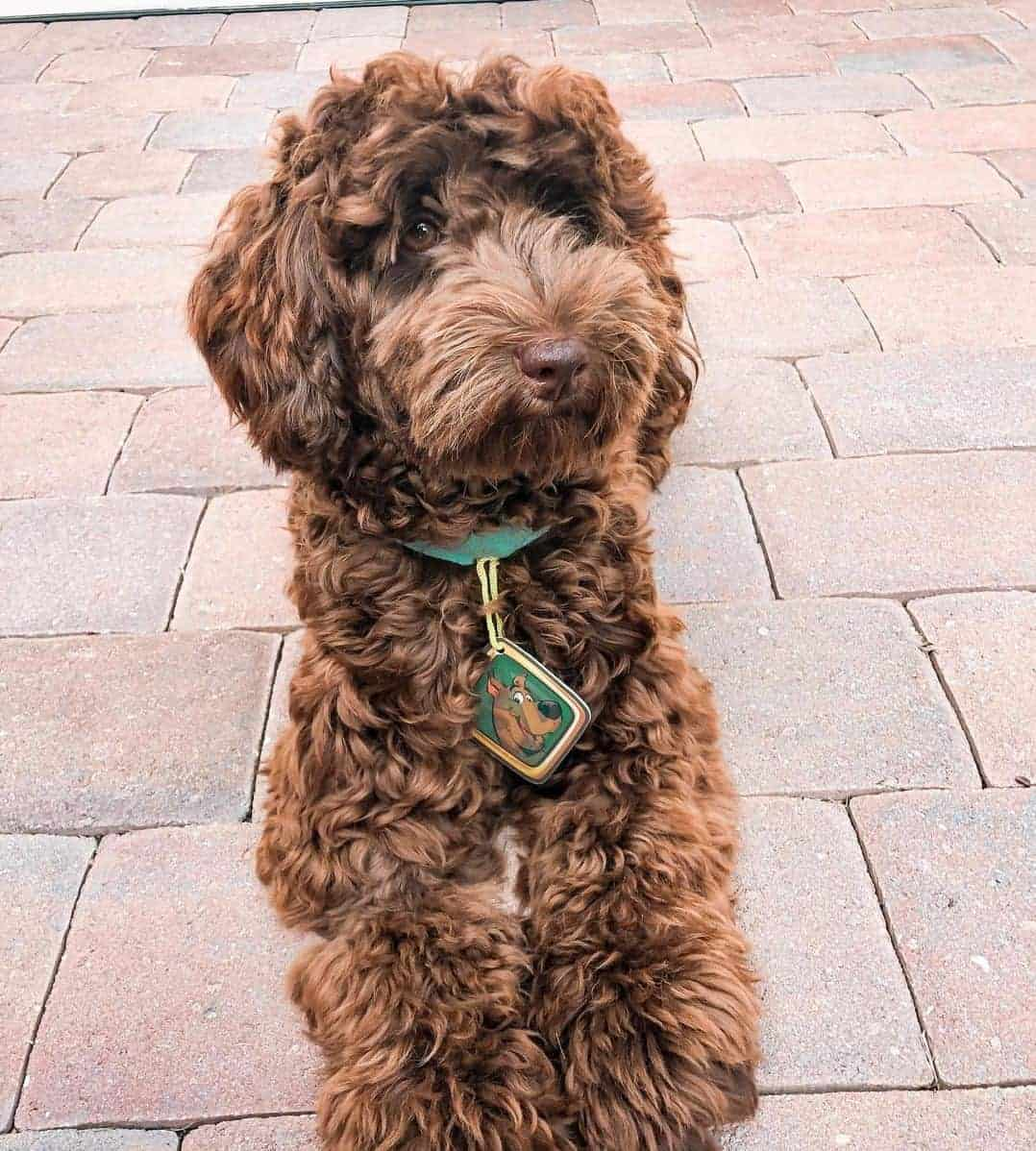 Curly coat chocolate Labradoodle