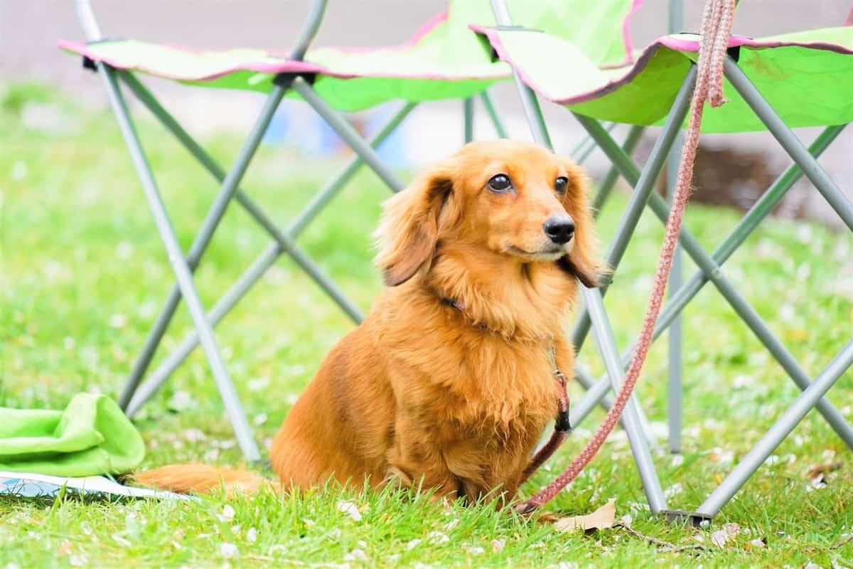 Cute Long-Haired Miniature Dachshund outdoors