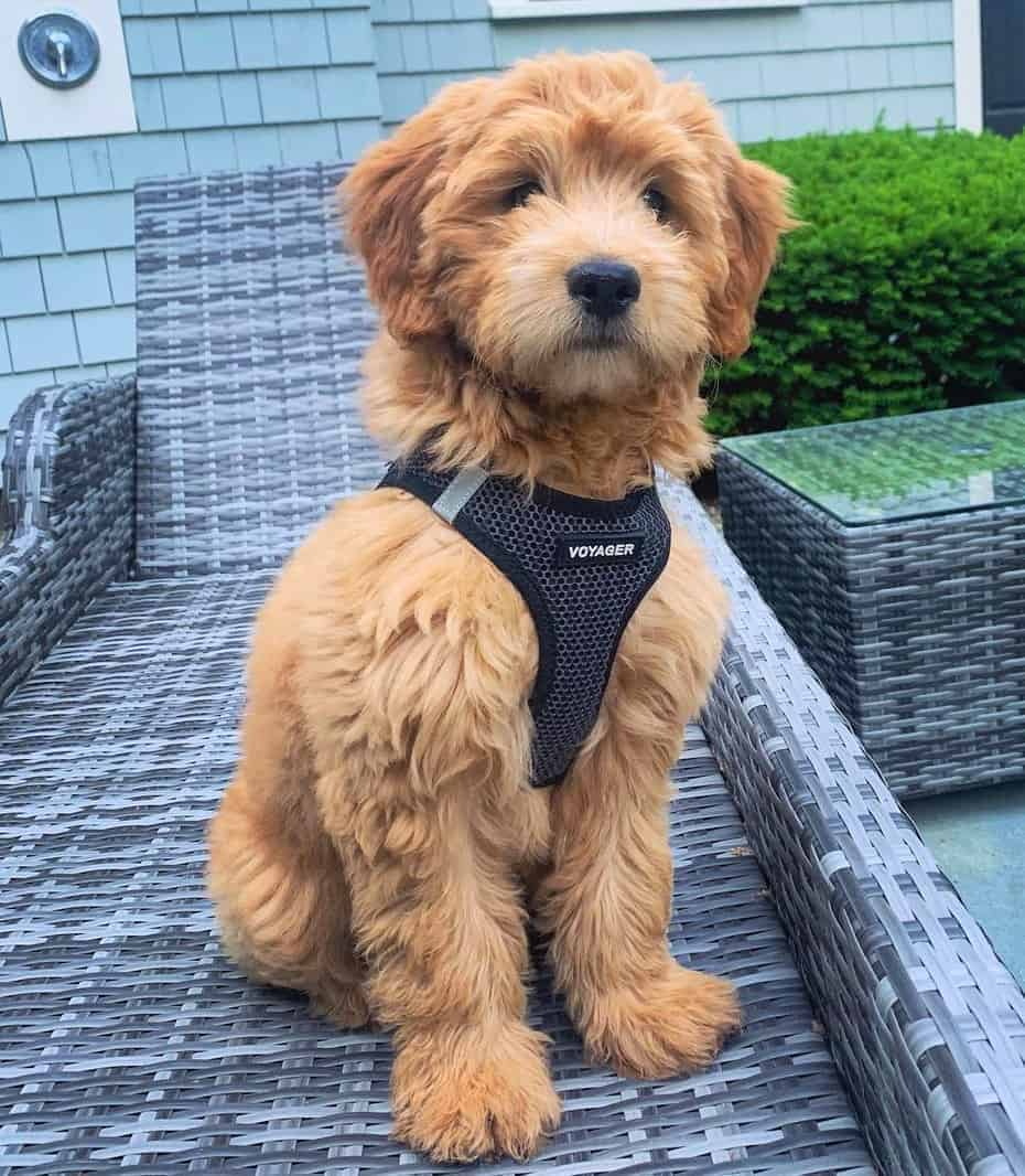 F1 Goldendoodle puppy
