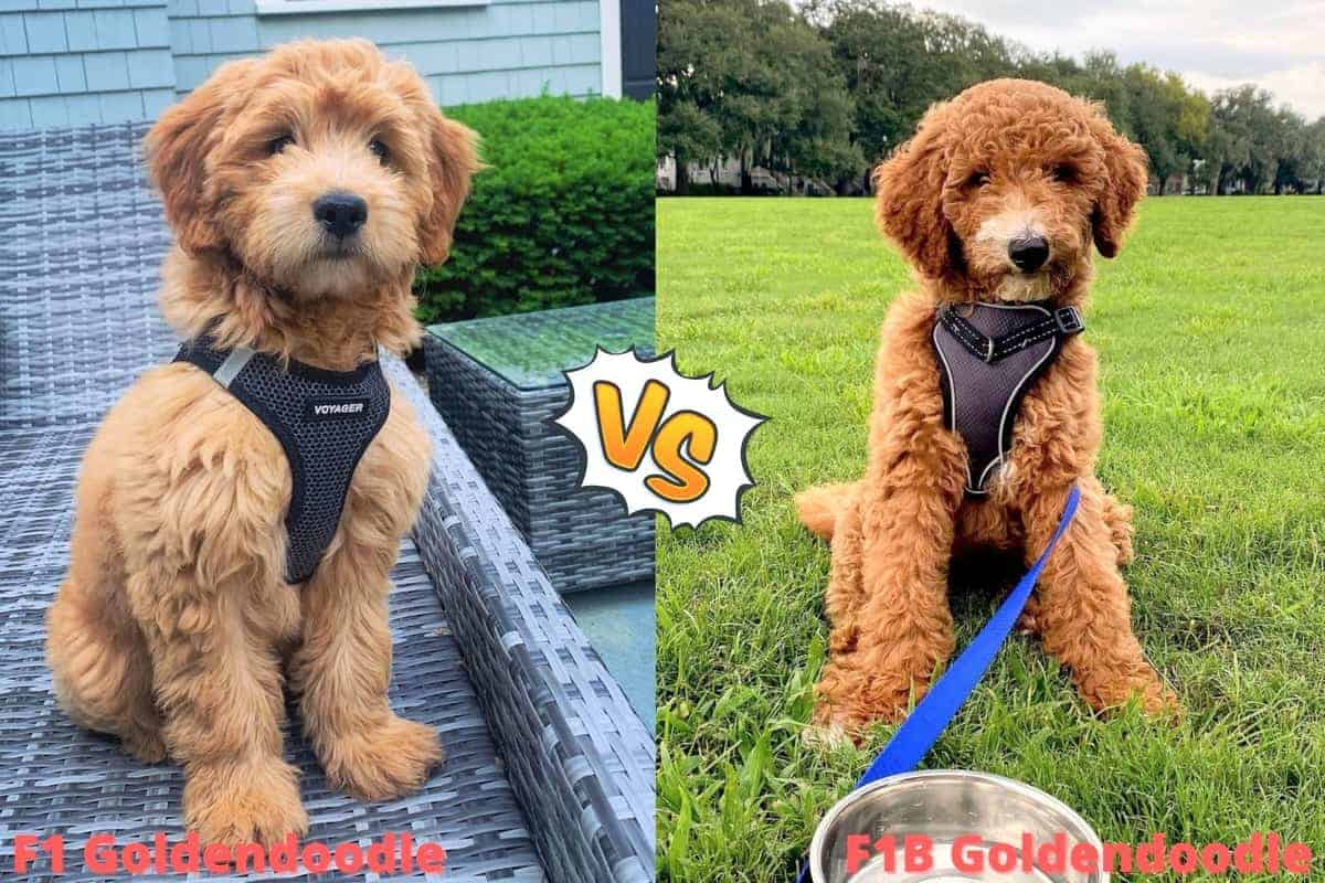 F1-vs.-F1B-Goldendoodle-A-Side-by-Side-Comparison