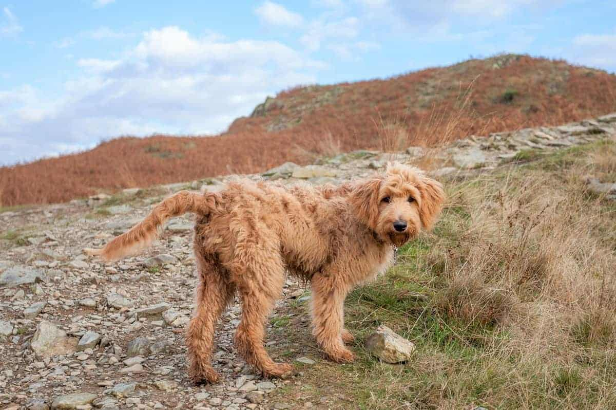 F1B Goldendoodle hiking on a mountain