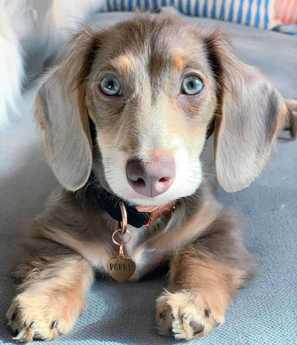 Fawn(Isabella) and Tan Long-Haired Miniature Dachshund
