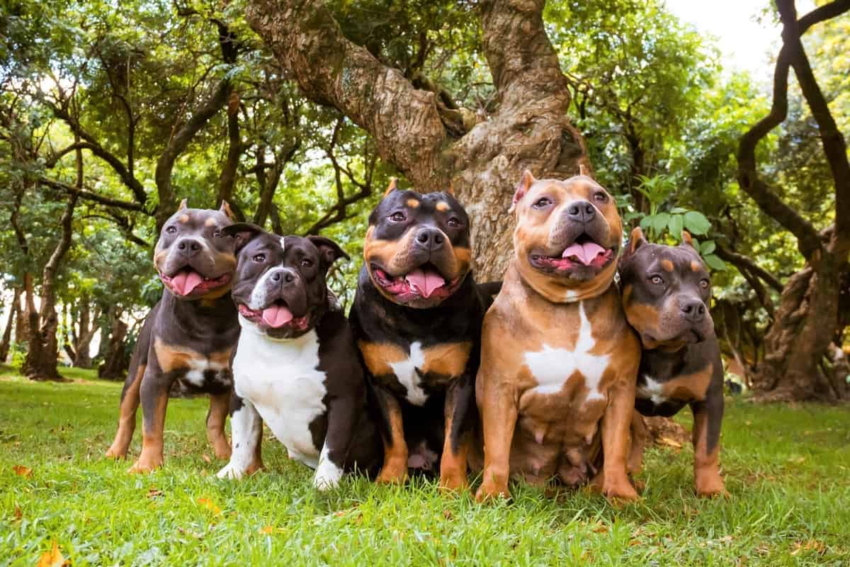 Five American Bully dogs sitting with trees in the background