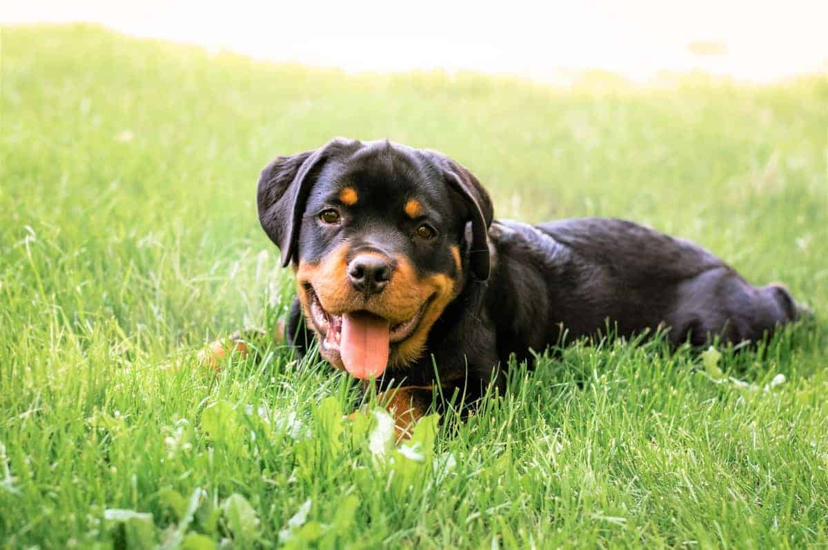 German Rottweiler puppy lying on grass