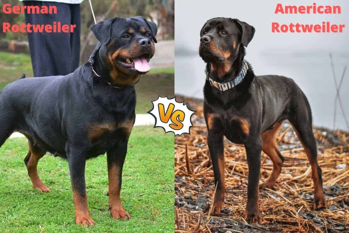 German Rottweiler vs. American Rottweiler A In-depth Comparison