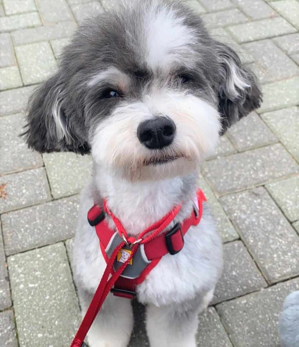 Gray and White Parti Miniature Poodle