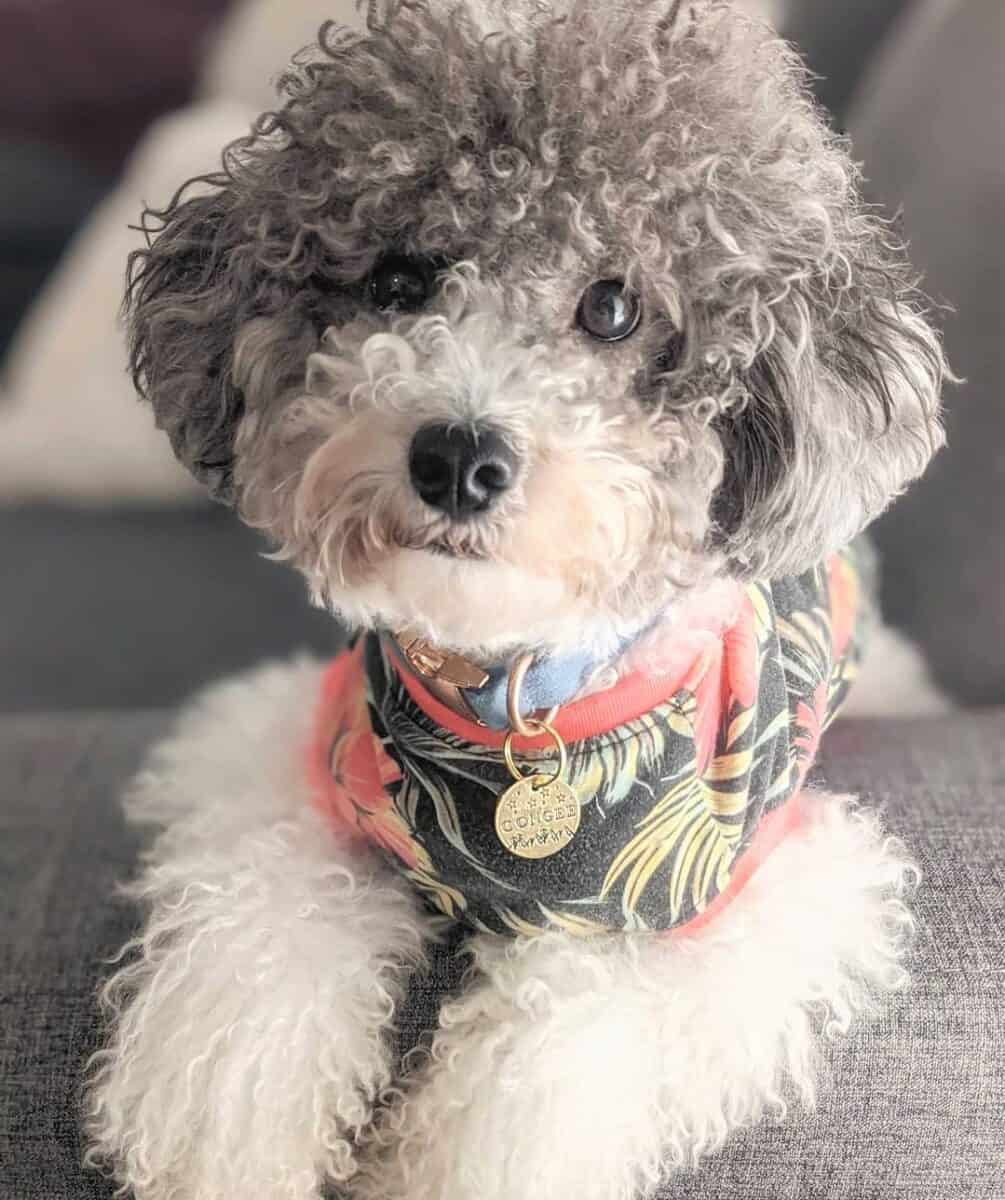 Gray and White Poodle