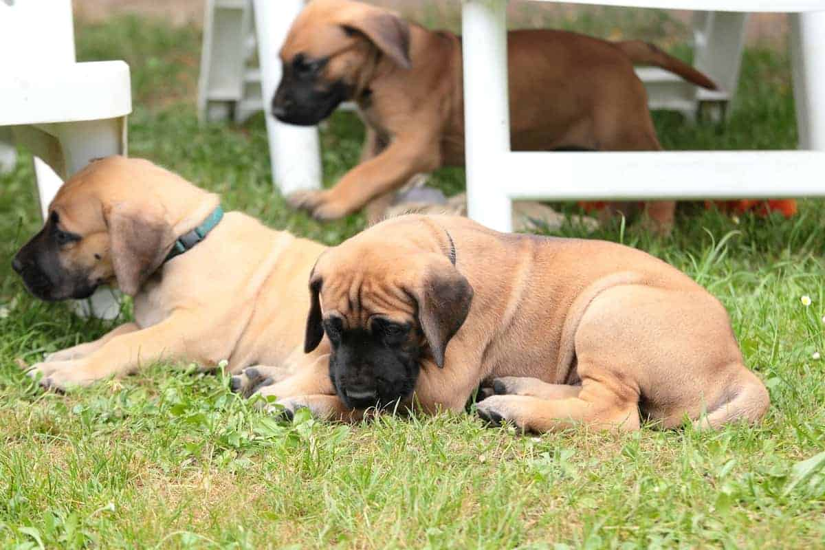 Great Dane puppies playing outdoor