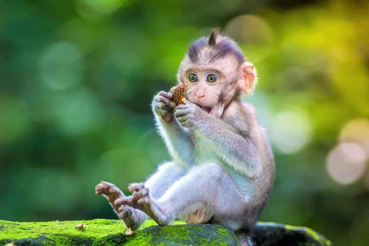 Little baby monkey how much does a monkey cost