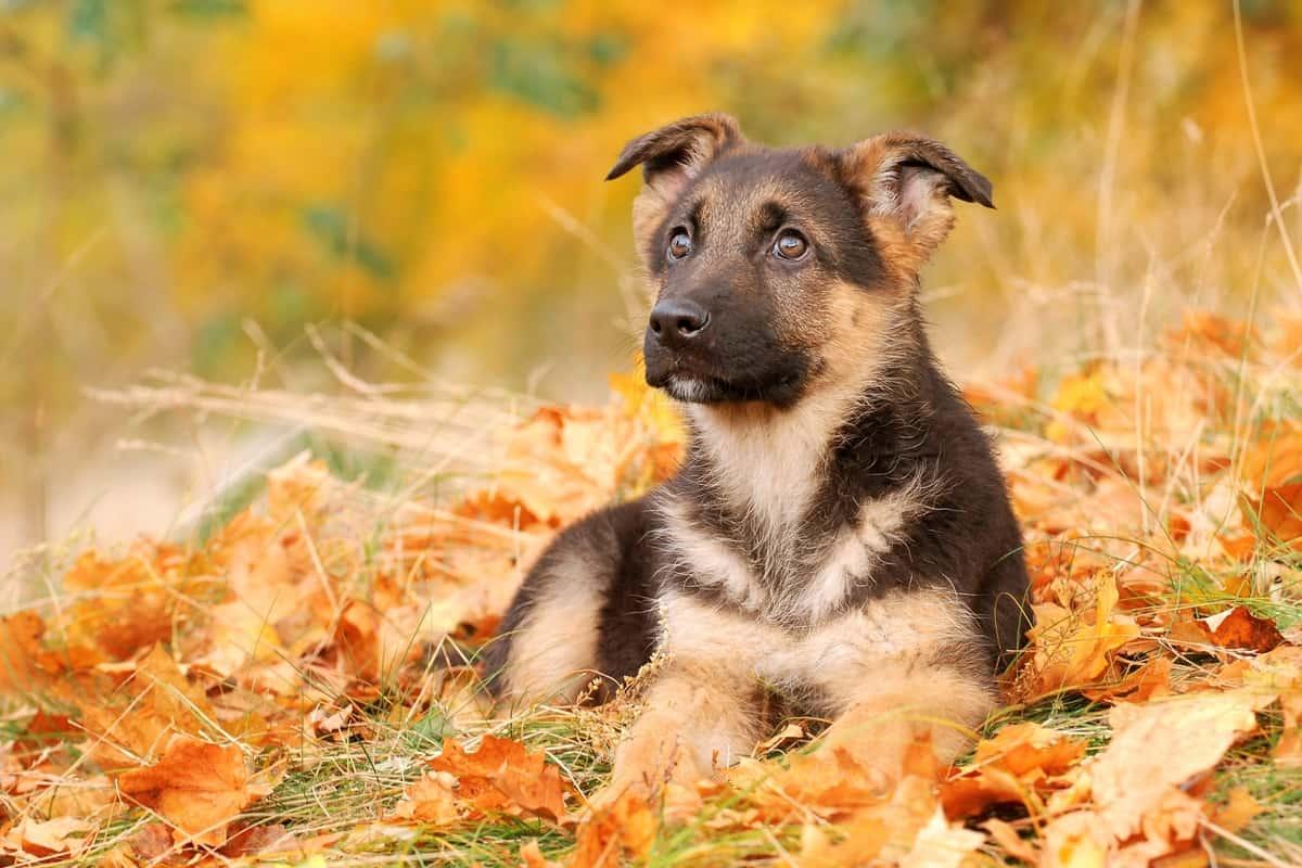 Little sable German Shepherd puppy