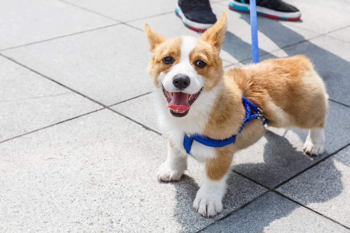 Lively and lovely teacup Corgi dog walking on leash