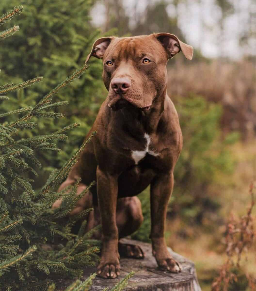 Liver or chocolate Pitbull sitting on a wood