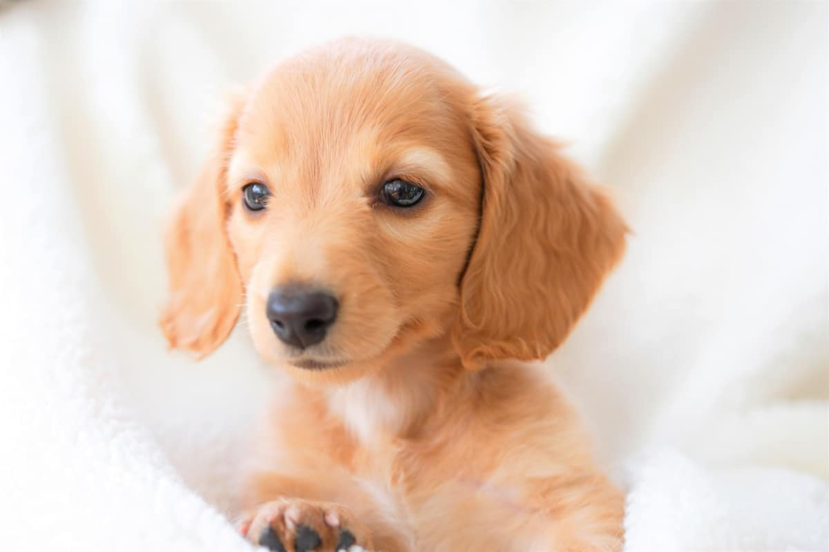Long-Haired Miniature Dachshund puppy for sale and adoption