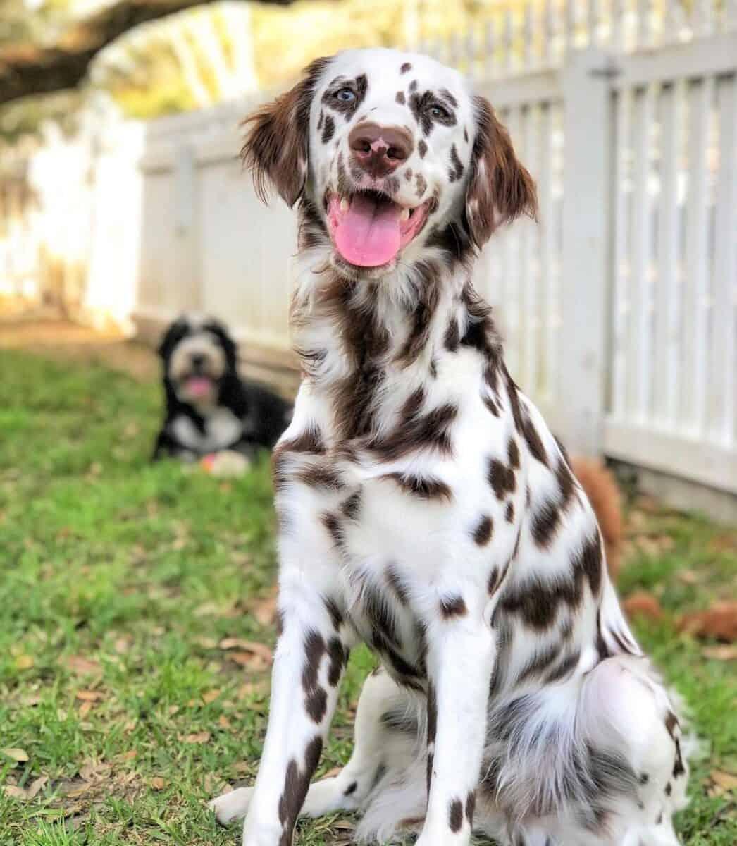 Long coat Dalmatian with brown spots