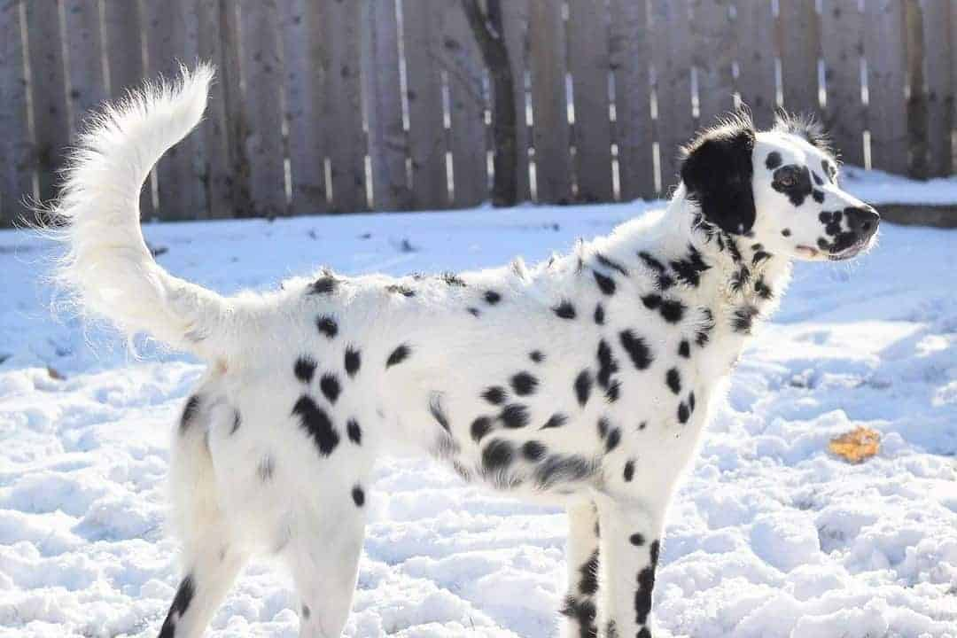 Long haired Dalmatian during winter