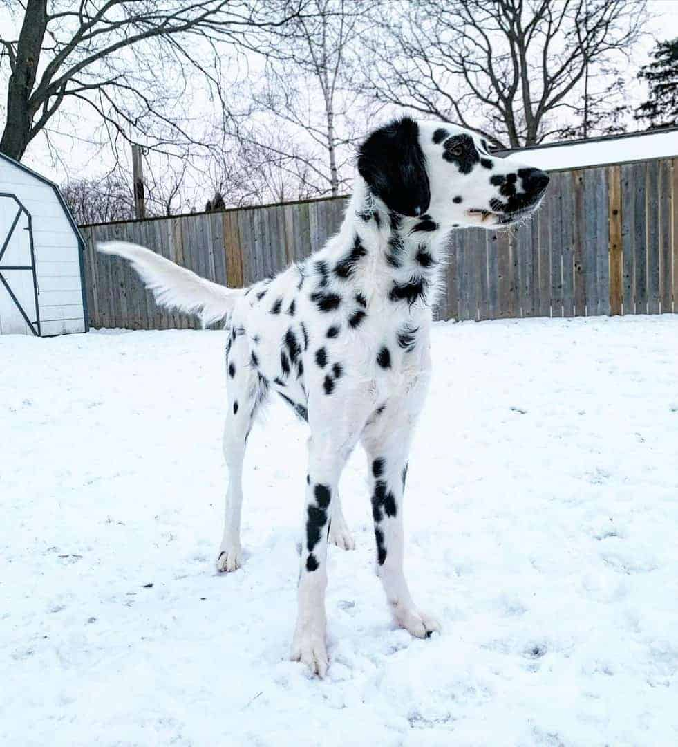 Long haired Dalmatian standing on snow