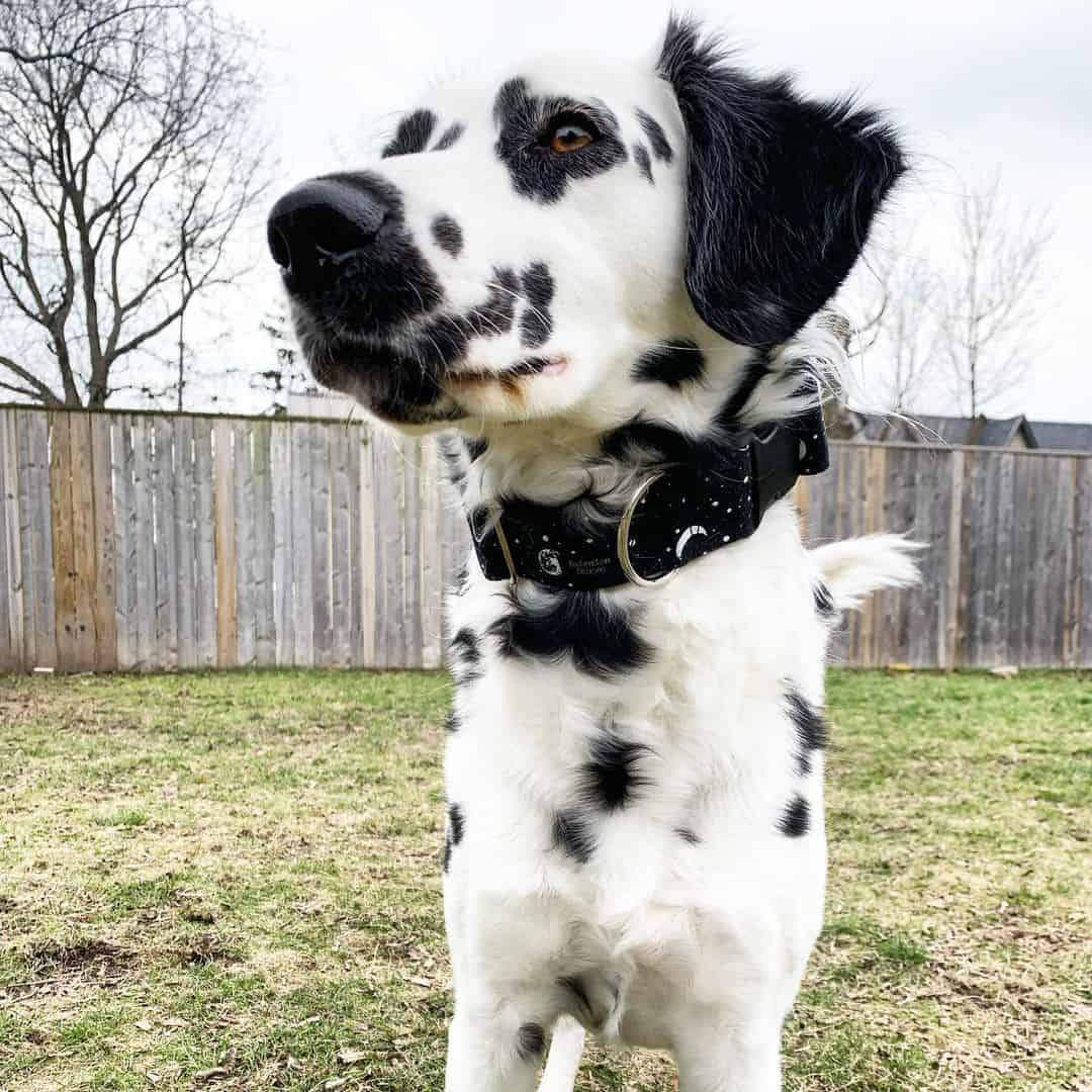 Long haired Dalmatian with black spots