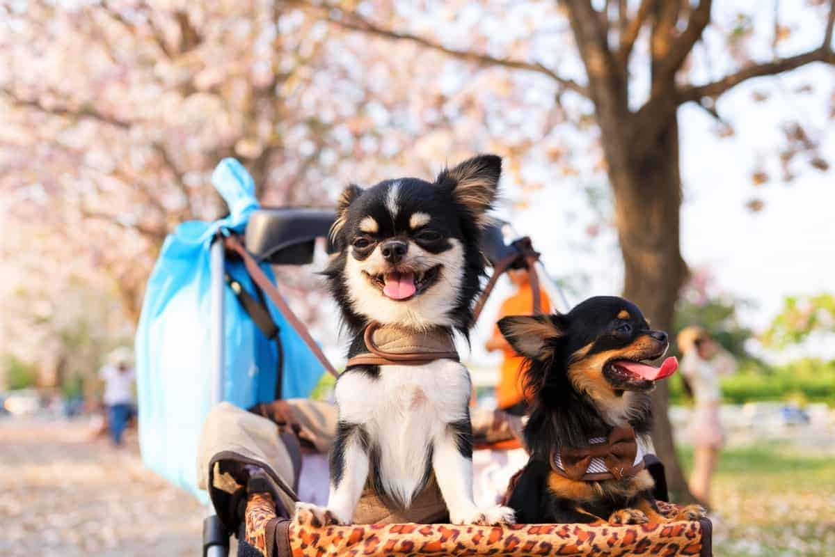 Male and female Chihuahua sitting in a dog carrier trolley