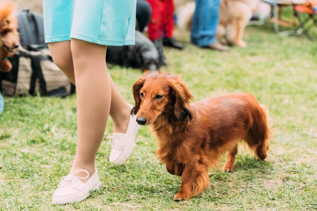 Mini Longhaired Dachshund dog running near woman