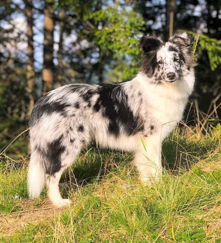 Miniature Collie with a shade of black and white coat