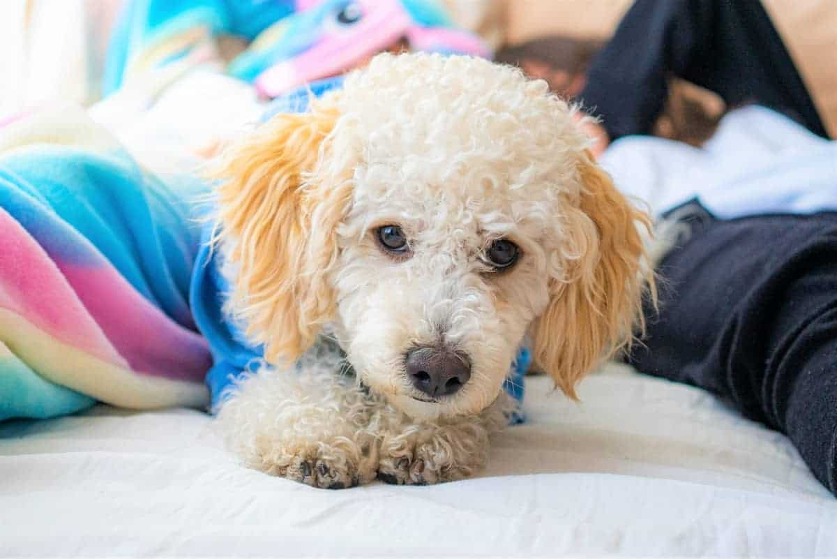 Parti Poodle puppy lying on a bed