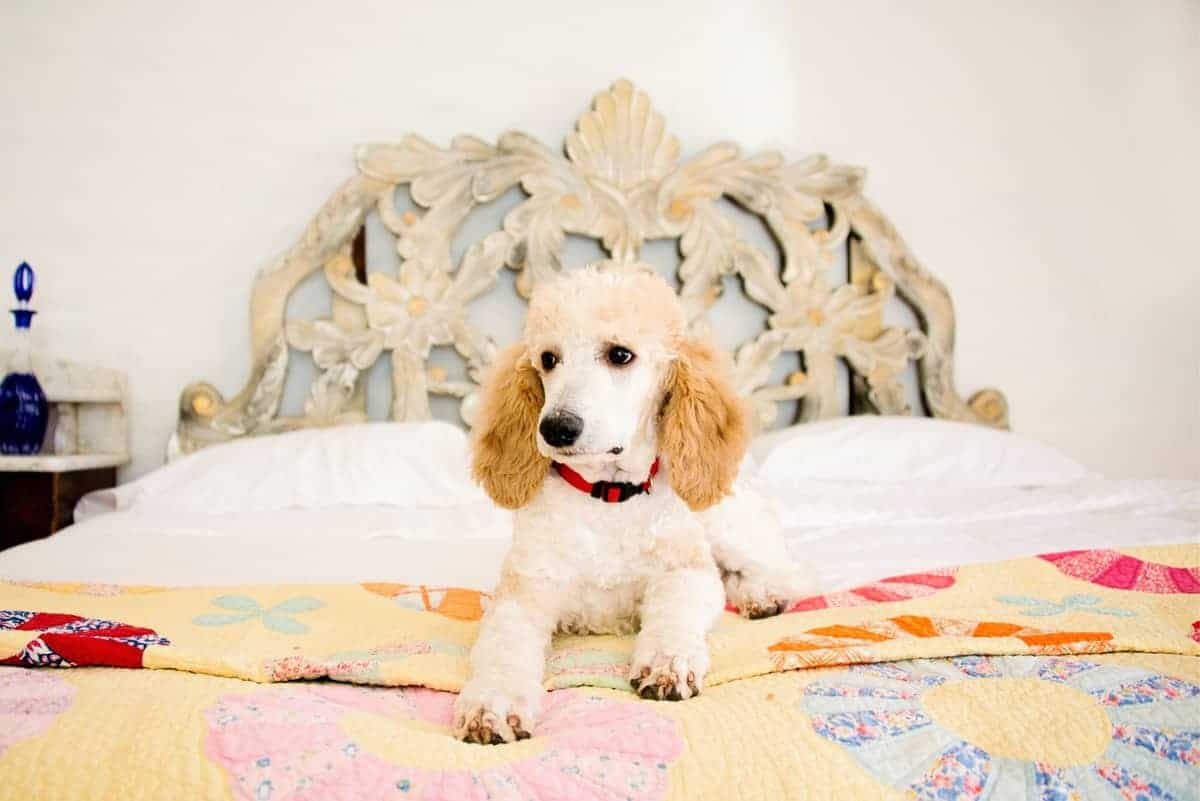 Places to find Parti Poodle puppy for sale
