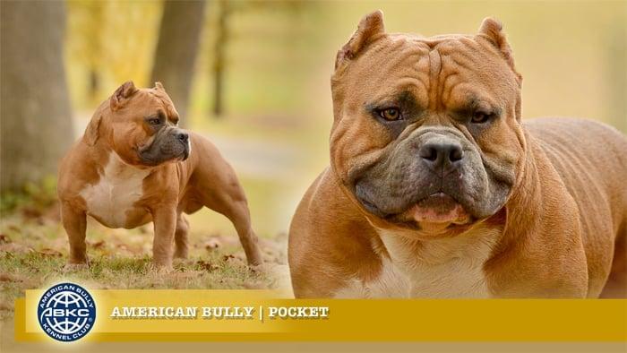 Pocket American Bully
