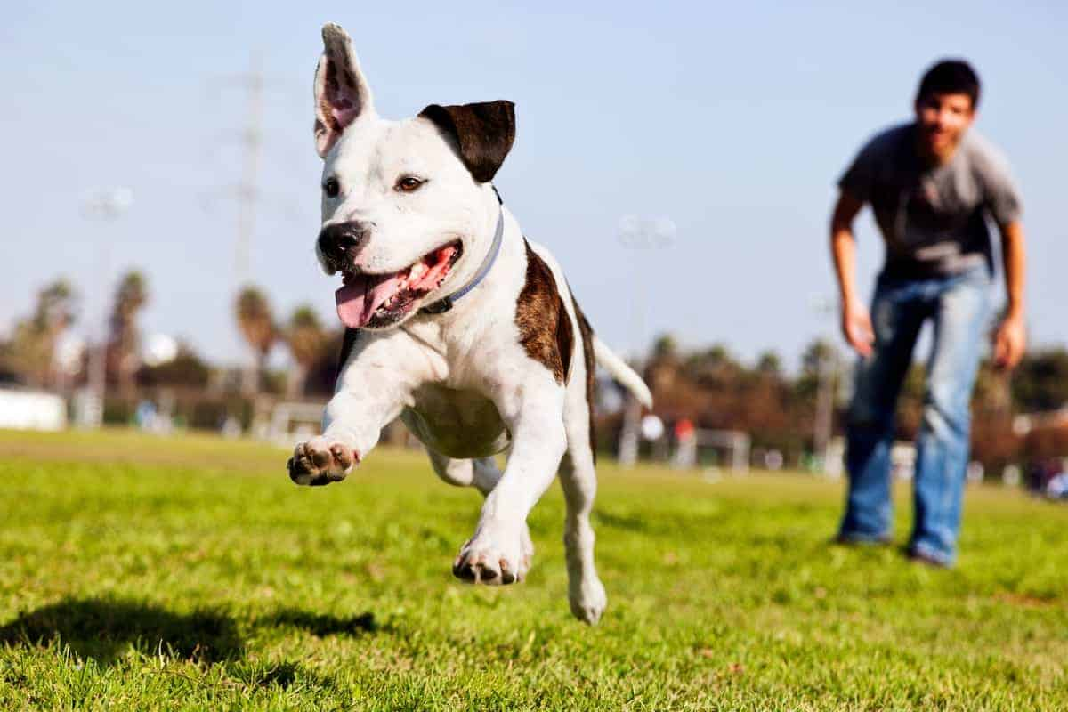 Pocket Pitbull running with owner at the park
