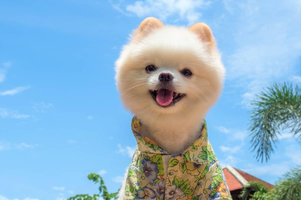 Pomeranian with a teddy bear hair cut