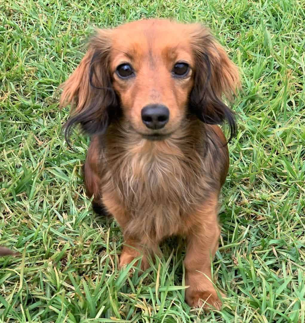 Red Long-Haired Miniature Dachshund