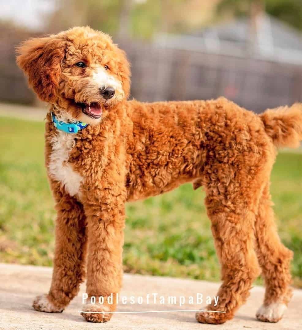 Red and White Parti Poodle